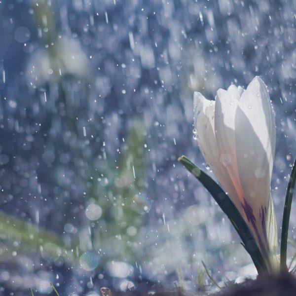 Weiße Krokusblüte unter fallenden Regentropfen vor dunkelblauem Hintergrund.