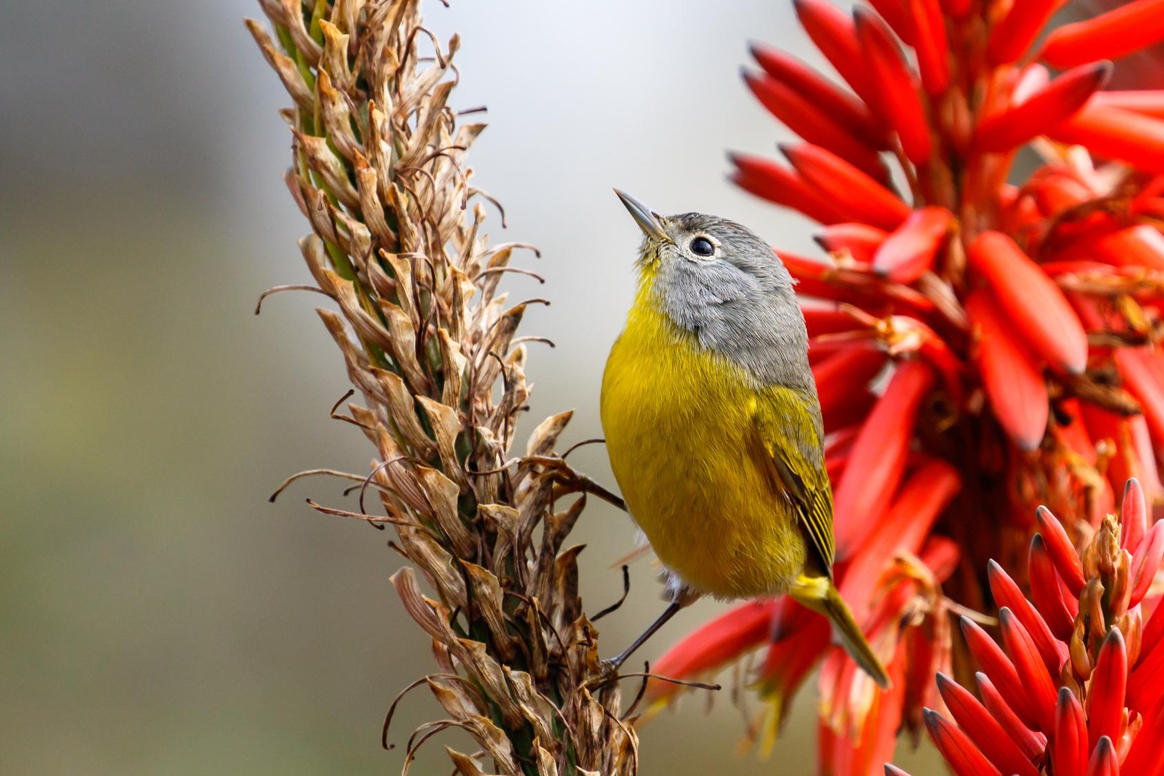 Kleiner gelb-grauer Vogel zwischen Pflanzen.