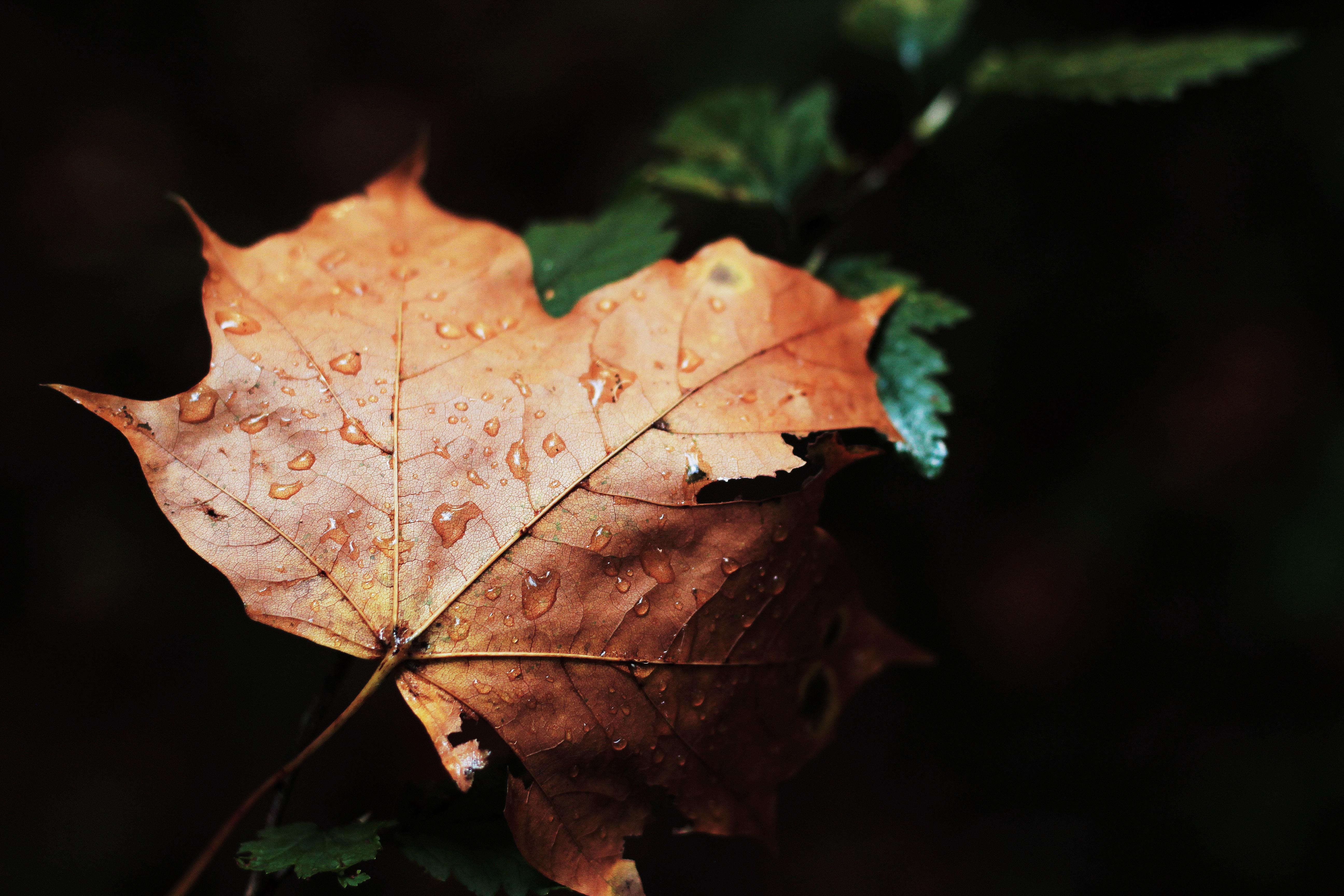 Ein mit Regentropfen benetztes Ahornblatt.