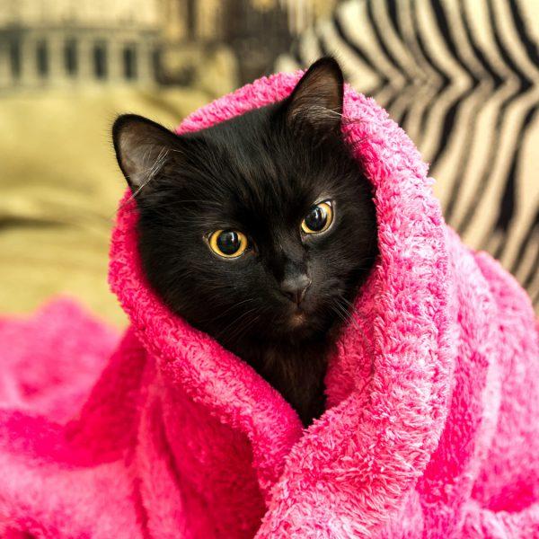 Schwarze Katze, eingewickelt in ein kuschelig-weiches Handtuch.