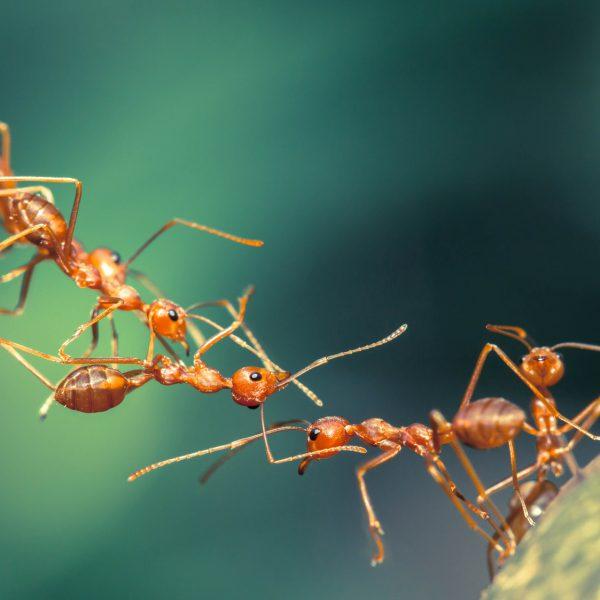 Fünf Ameisen bilden eine Brücke, um ihr Ziel zu erreichen.