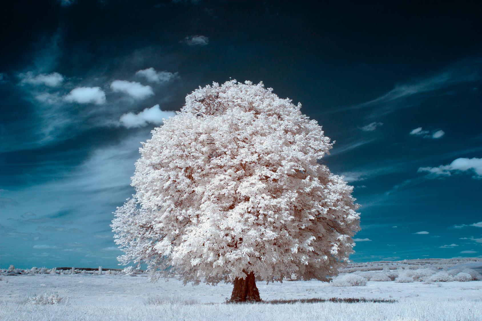 Ein großer Laubbaum mit schneeweißem Blattwerk auf schneeweißem Gras, unter dunkelblauem Himmel.