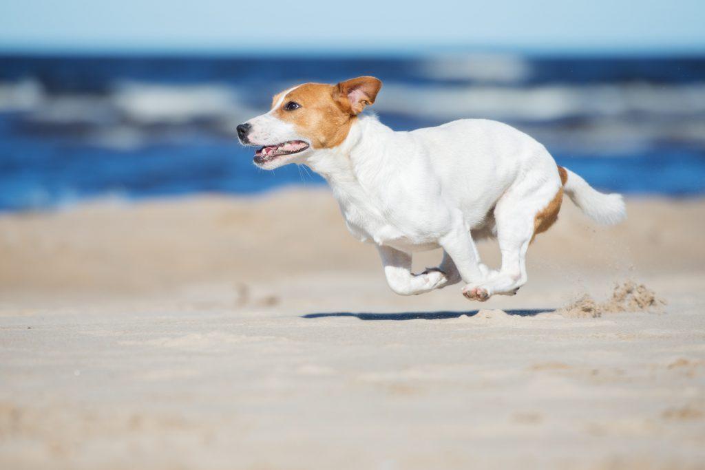 Ein Jack-Russel-Terrier läuft über den Strand